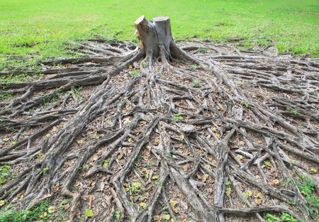 banyan tree: cutting died of banyan tree stump with root in green field Stock Photo