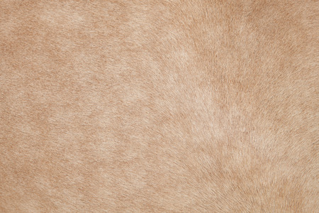 cow hide: close up of horse hair,fur, skin, leather use as animals and natural background ,backdrop