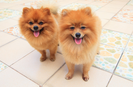 petshop: close up face of two male pomeranian dog standing and watching to camera