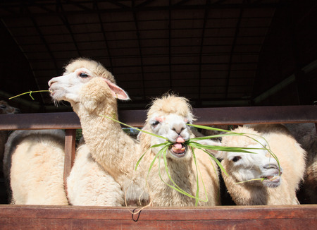 llama: close up face of llama alpacas eating ruzi grass show lower tooth in mouth Stock Photo