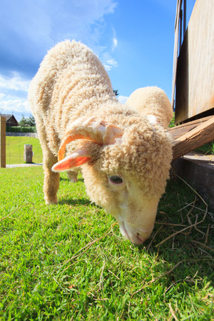sheep eye: close up face of merino sheep eating green grass in ranch field farm