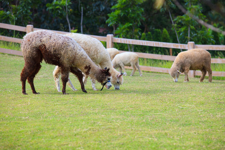 merino sheep: folk of llama alpacas latin america cattle  feeding in farm grass field Stock Photo