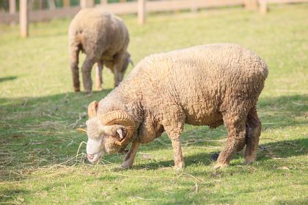 merino sheep: full body of male merino sheep feeding green grass in ranch livestock animals farm