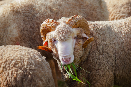 merino: close up face of male merino sheep lamb in ranch farm eating ruzi grass