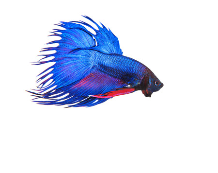crown tail: blue crown tail thai fighing fish betta prepare to fight isolated white background Stock Photo