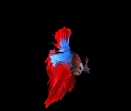 siamese fighting fish: red and blue siamese betta fighting fish full tail and fin isolated black background