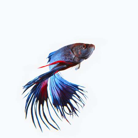 crown tail: close up siamese blue  crown tail fighting betta fish isolated white background