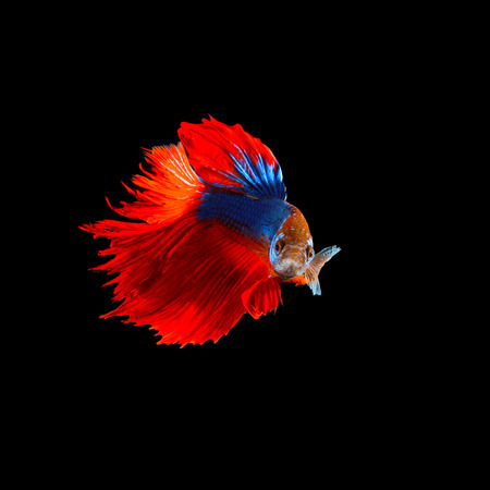 siamese fighting fish: beautiful  of  red tail siamese betta fighting fish isolated on black background Stock Photo