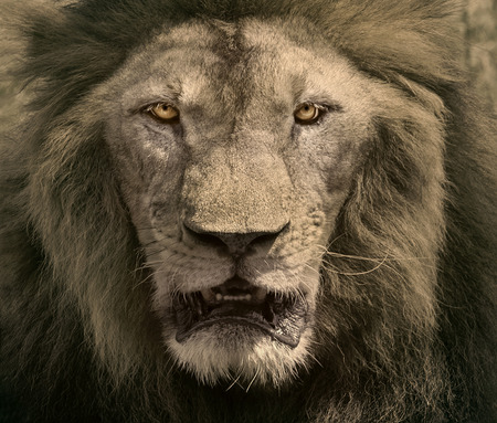 close up face of male lion dangerous african safari animals king of wilderness in swanna field photo