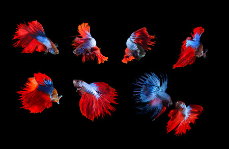 siamese fighting fish: mixed of blue and red siamese fighting fish betta full body under water isolated black  background