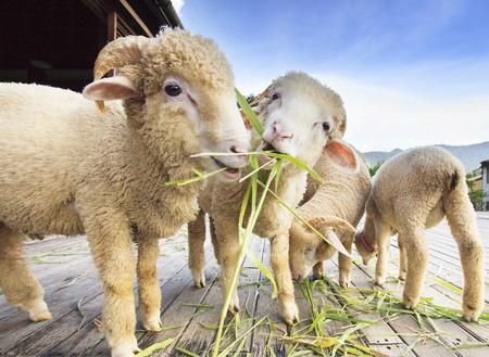 ルーズィ草を食べてメリノ羊の美しい照明と農村牧場農場の木の地面に葉します。