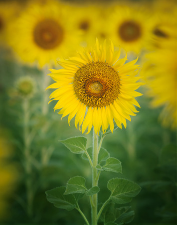 alergy: close up single of beautiful sunflowers petal in flowers frild with copy space use as nature plant  background ,backdrop