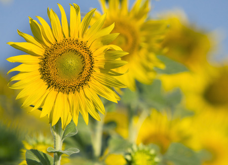 alergy: close up of beautiful sunflowers petal in flowers frild with copy space use as nature plant  background ,backdrop
