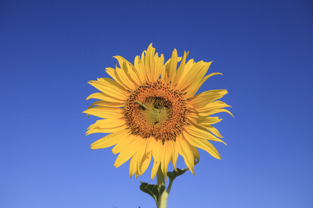 butterfly worm on yellow sunflowers against beautiful clear blue sky photo