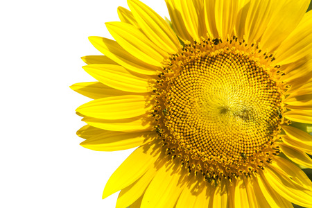 seed plant: close up yellow sunflowers seed plant isolated white background use for natural of nature beautiful flora