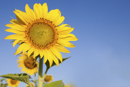 close up of beautful yellow sunflowers petal against clear blue sky with day light and copy space background photo