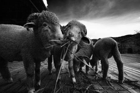 merino sheep: merino sheep eating ruzi grass