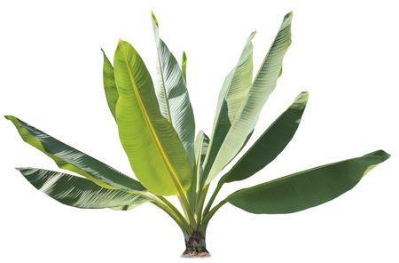 自然の緑のバナナの葉で飾られた公園および庭の孤立した白い背景の工場