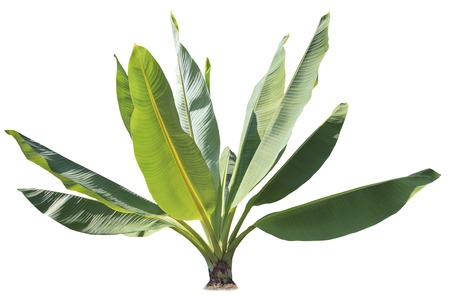 natural green banana leaves  plant for decorated in park and garden isolated white background Stock Photo
