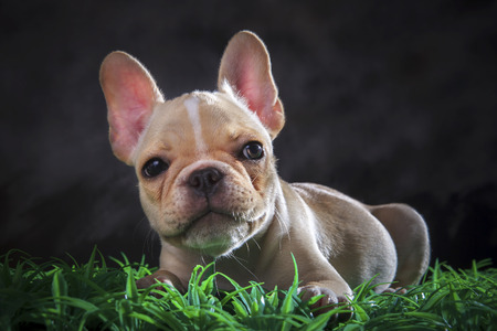 close up lovely face of french bull dog lying on green grass floor photo