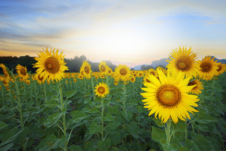 dusky: land scape of agriculture of sunflowers field against beautiful dusky sky background
