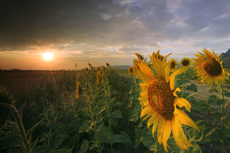 sunflower field: close up of yellow sunflowers petal blooming in agriculture field with beautiful sun set light and cloudy sky use as natural background,backdrop