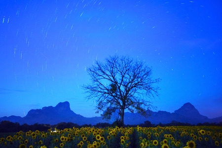 land scape: night land scape of star tail on dark blue sky with dry tree branch and sunflowers field foreground
