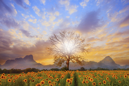cloud scape: beautiful landscape of dry tree branch and sun flowers field against colorful evening dusky sky use as natural background,backdrop