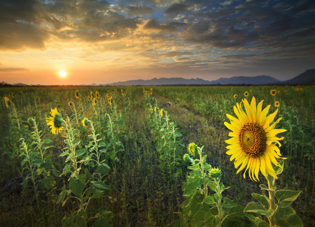 land scape: beautiful land scape sun set with yellow sunflowers blooming in agriculture field Stock Photo