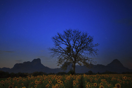 star light: night photgraphy of sunflowers field and dry tree branch against star light on blue sky