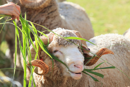 hand feeding ruzi grass for merino sheep in farm