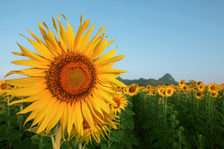agruculture: close up yellow sunflowers petal in plant field with blue sky copy space Stock Photo