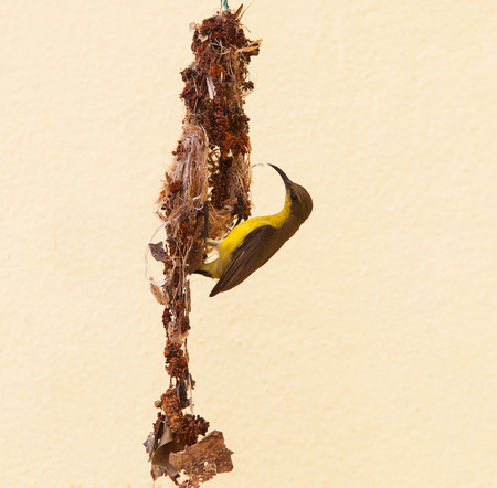 sunbird: close up natural scene of wild female olive backd Sunbird builting bird nest hanging against yellow wall Stock Photo