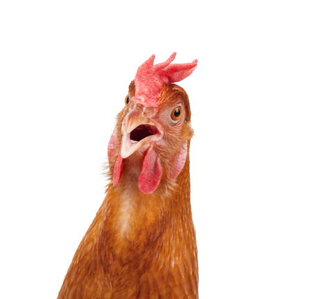 granja avicola: cabeza de choque de pollo gallina y sorprendente fondo blanco aislado divertido Foto de archivo