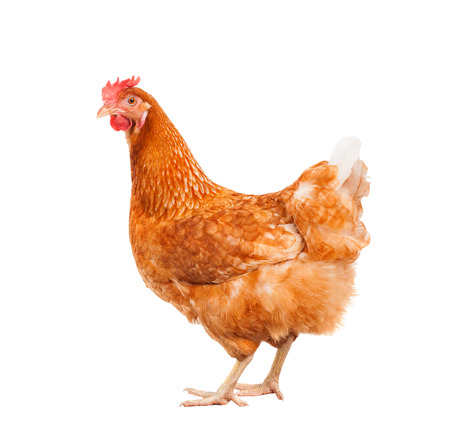 aves de corral: cuerpo lleno de pollo gallina marrón que se coloca aislado fondo blanco uso para animales de granja y el tema del ganado Foto de archivo