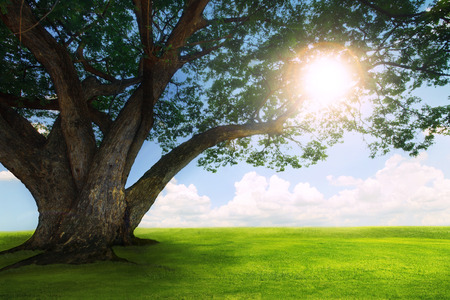 land scape: beautiful  land scape of big rain tree plant on green grass field and sun shine on blue sky use for natural background,