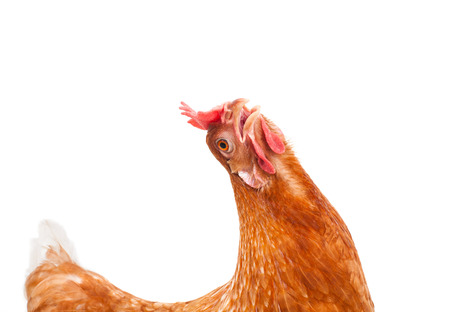 funny acting of brown female chicken hen isolated white background