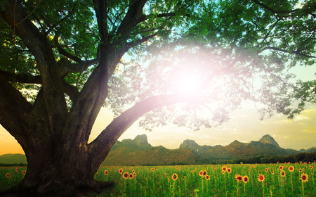 natual: rain tree and sun shining on the sky with sunflowers field background