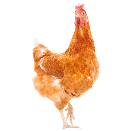 comedy: full body of brown chicken hen standing isolated white background use for farm animals and livestock theme