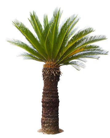 close up Cycad palm boom op een witte achtergrond usefor tuin en het park decoratie