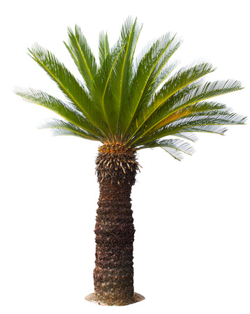 close up Cycad palm tree isolated on white background usefor garden and park decoration