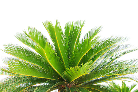 cycad: greem leaves of cycad plam tree plant isolated white background use for garden and park decorated Stock Photo