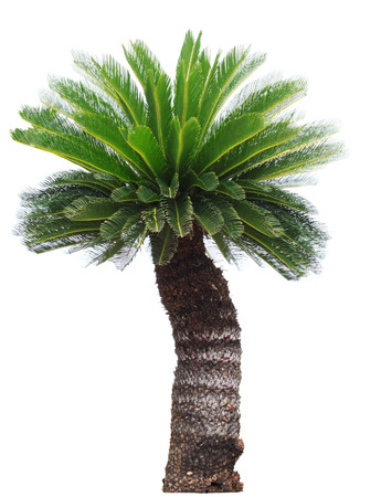 cycas: close up Cycad palm tree isolated on white background usefor garden and park decoration