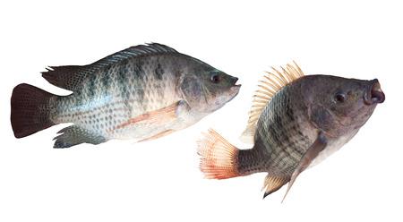 white nile: dos tipos de peces nilo aislado fondo blanco Foto de archivo