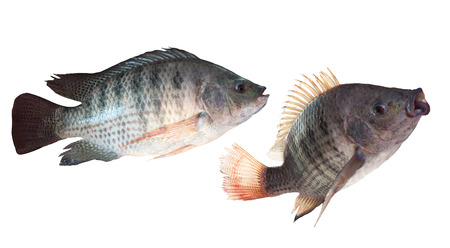 oreochromis: two kind of nile fish isolated white background Stock Photo