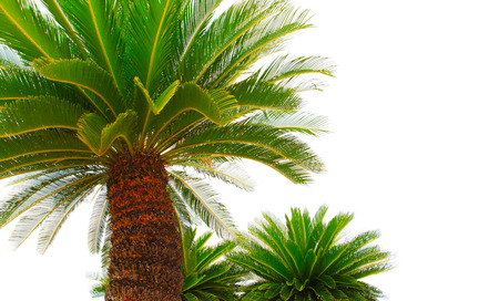 cycas: greem leaves of cycad plam tree plant isolated white background use for garden and park decorated Stock Photo