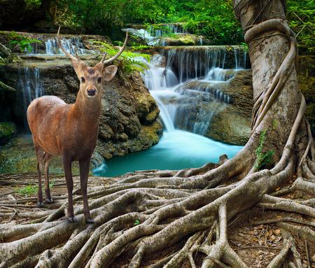 animales del bosque: ciervo sambar de pie junto a la raíz del árbol bayan en frente de agua de piedra de cal cae en el uso del bosque profundo y la pureza de la vida salvaje en la naturaleza tema