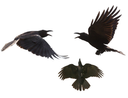 birds flying: black birds crow flying mid air show detail in under wing feather isolated white background