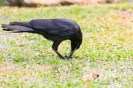 monedula: black birds crow pinch and feeding on green grass ground in the park