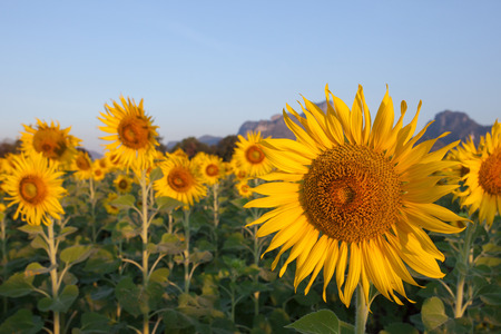 close up of yellow sunflowers blooming in field with beautiful light photo